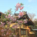 河津桜、満開です!!