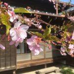 【三浦の春は早い】河津桜のピークがもうすぐやってきます!